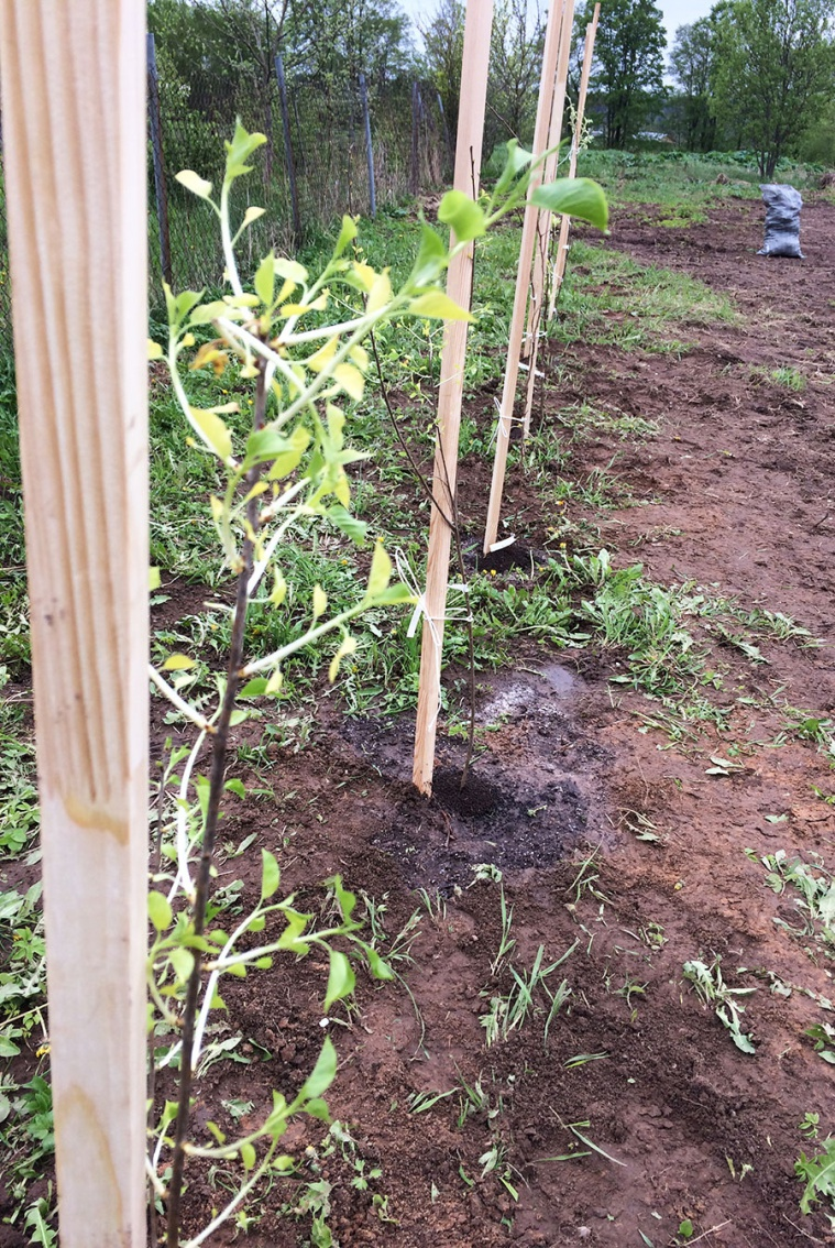 Посадка колоновидных деревьев - 8 мая 2019 года