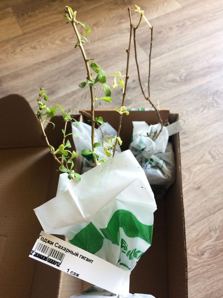 Ждут посадки ягоды Годжи Сахарный гигант и Годжи Биг Берри (пока даю им отойти от стресса от пересылки)