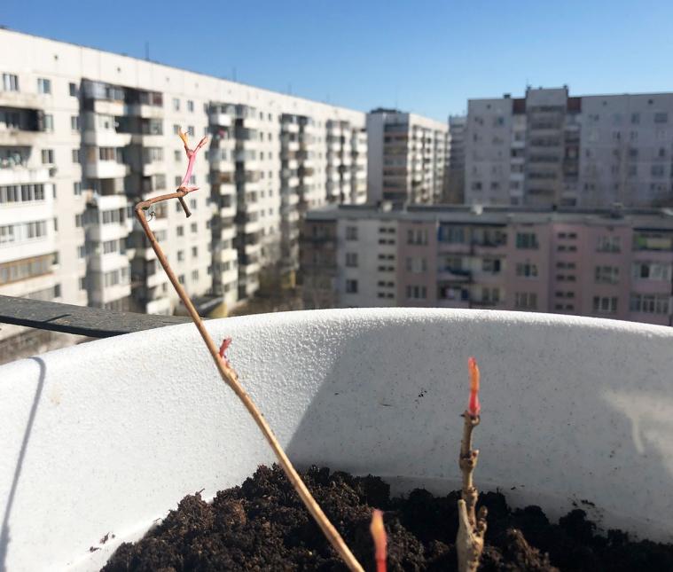 Виноград девичий пятилисточковый - 4 апреля (пересдка в горшок)