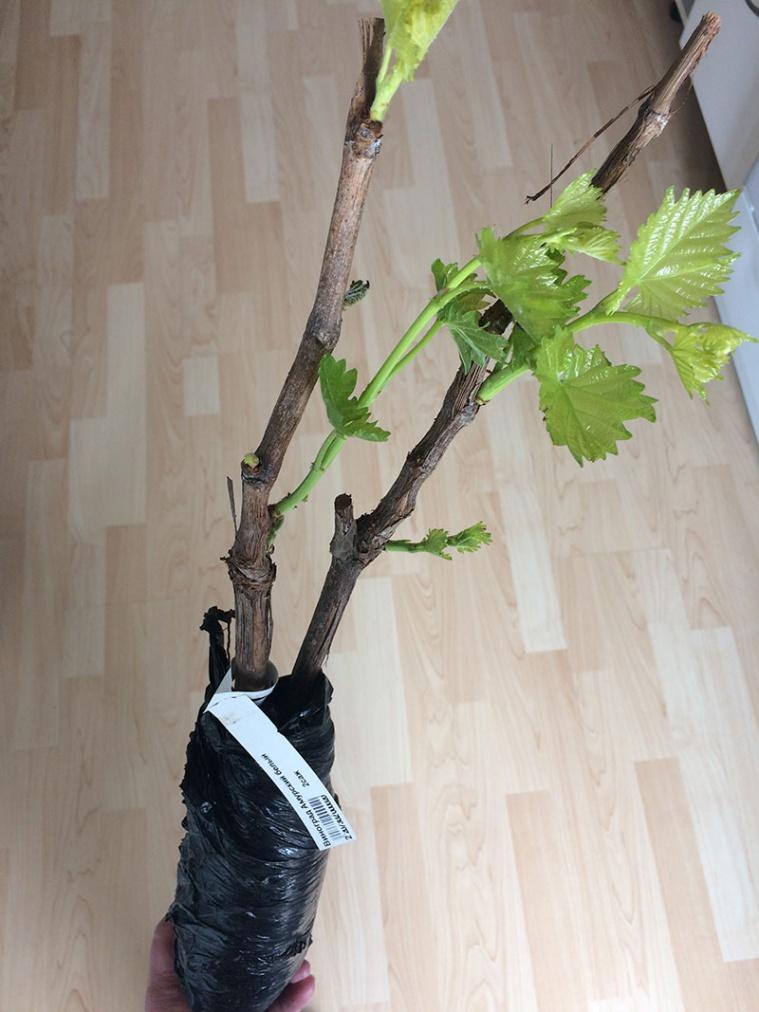 Саженец винограда Амурского белого