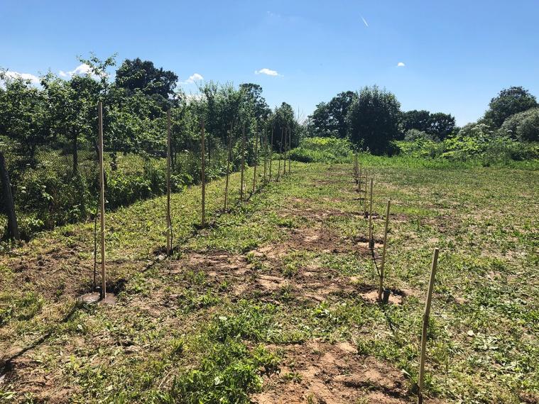 Мы сажаем виноград Амурский белый
