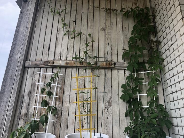 Девичий виноград - 27 июня
