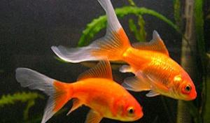 Хорошо быть золотой рыбкой в Австралии